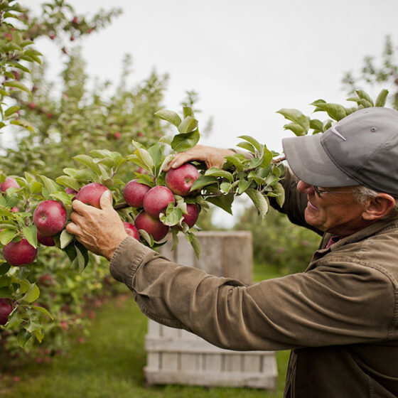 Angry_Orchard_Hard_Cider_Apple_Picking